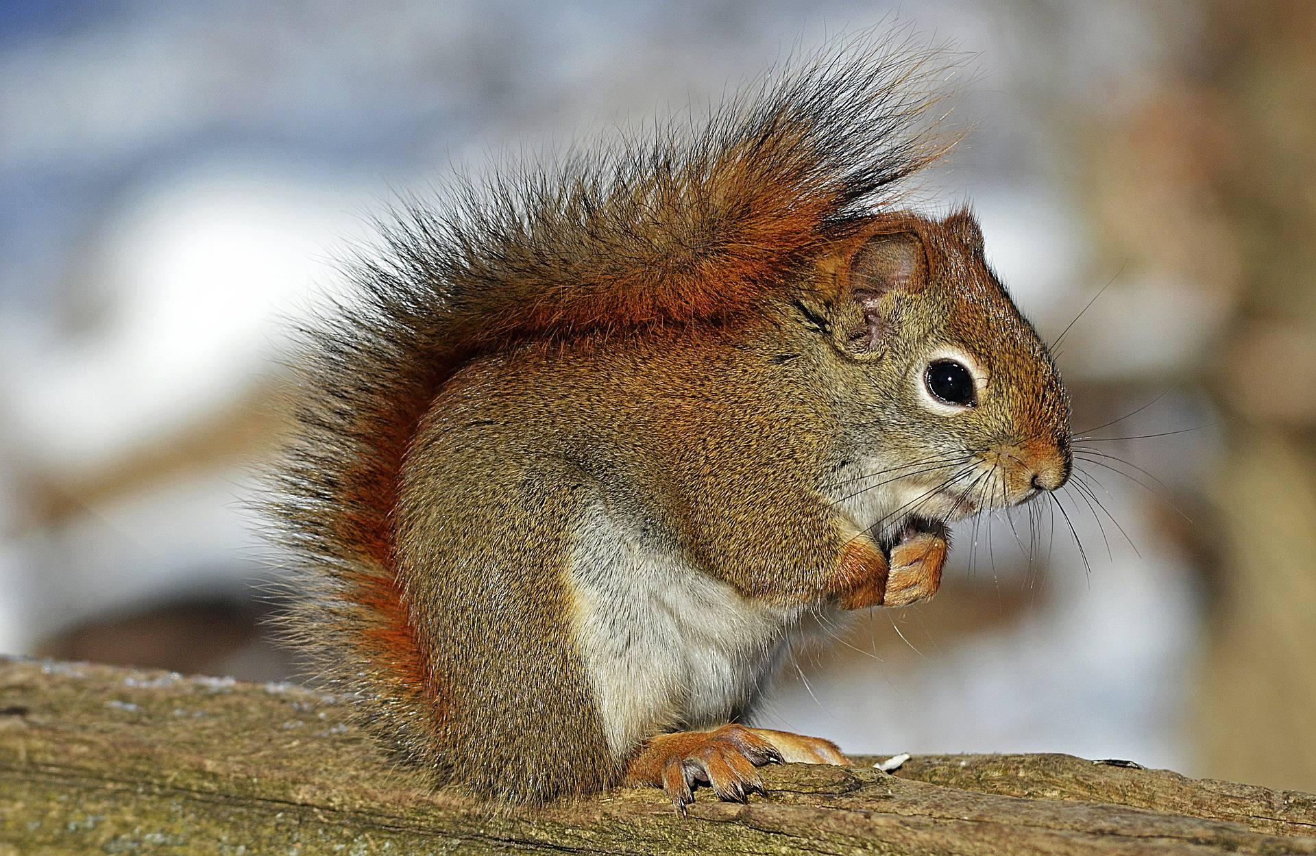 Krafttier Eichhörnchen – Symbolik und Bedeutung