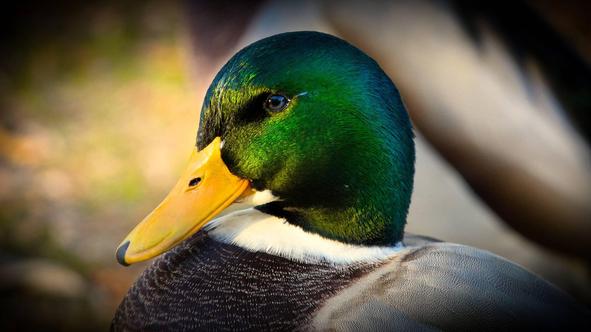 Krafttier Ente – Symbolik und Bedeutung
