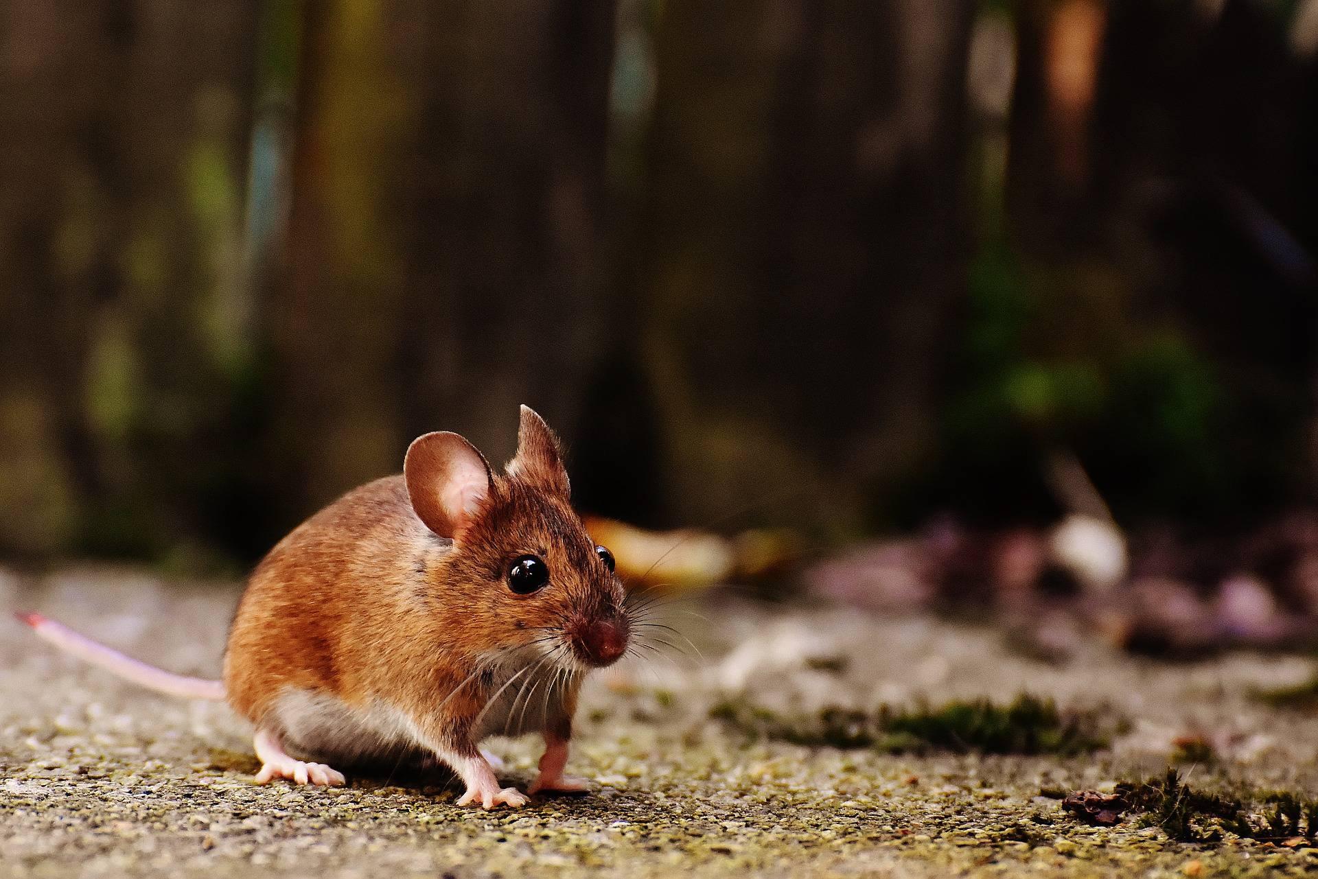 Krafttier Maus – Symbolik und Bedeutung