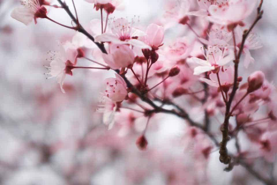 Bedeutung und Symbolik der Kirschblüten: Die rosa Sakura Blüte