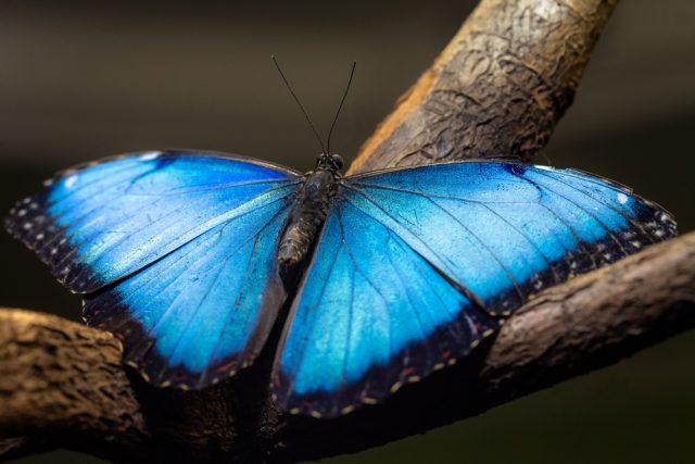 Bedeutet schmetterling was Lila Schmetterling
