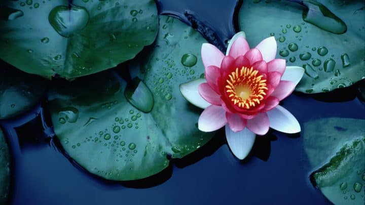 Lotusblüte Bedeutung: Die Blüte, die jenseits aller Unreinheit wächst