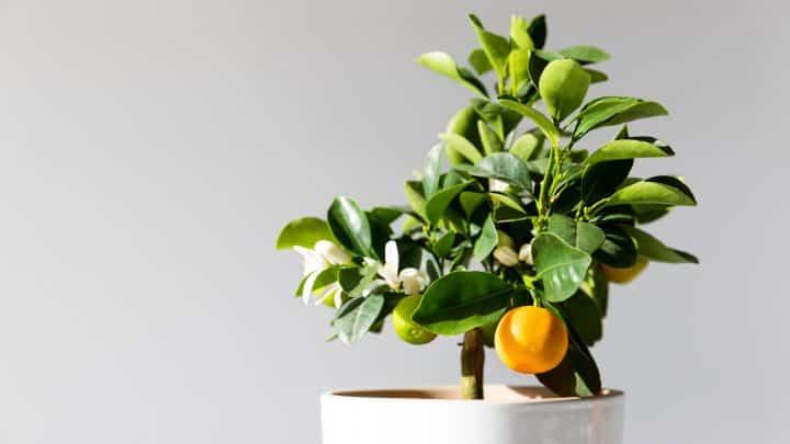 Wie man eine Zitrone in eine Tasse pflanzt – Duftende Idee!